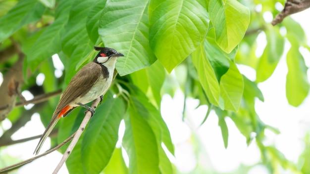 L'uccello rosso-baffuto del bulbul si è appollaiato su un albero
