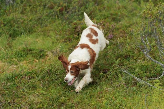 Cane rosso e bianco in esecuzione su sfondo verde erba, all'aperto, orizzontale