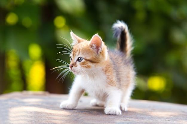 Il gattino rosso e bianco con gli occhi azzurri gioca su fondo verde