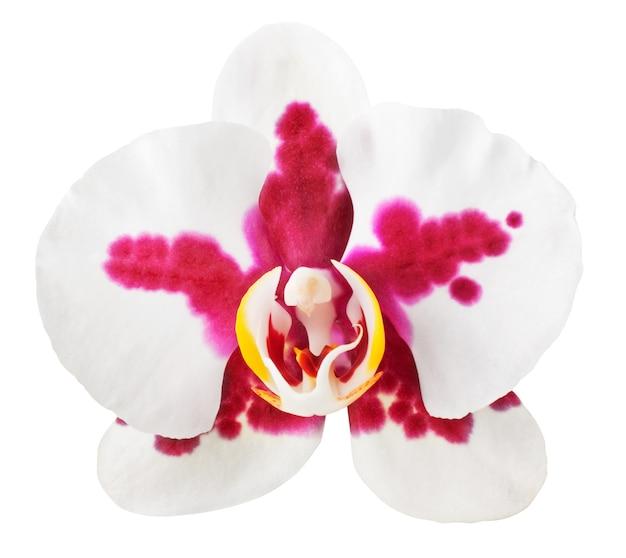 Orchidea rossa e bianca isolata su priorità bassa bianca