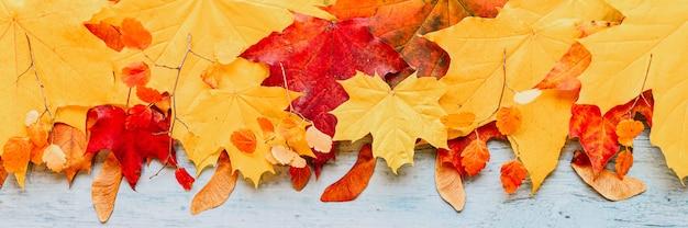Foglie di acero autunnali asciutte rosse e gialle, in cima in una riga su uno sfondo di legno blu. concetto di caduta. piatto, spazio per il testo. striscione