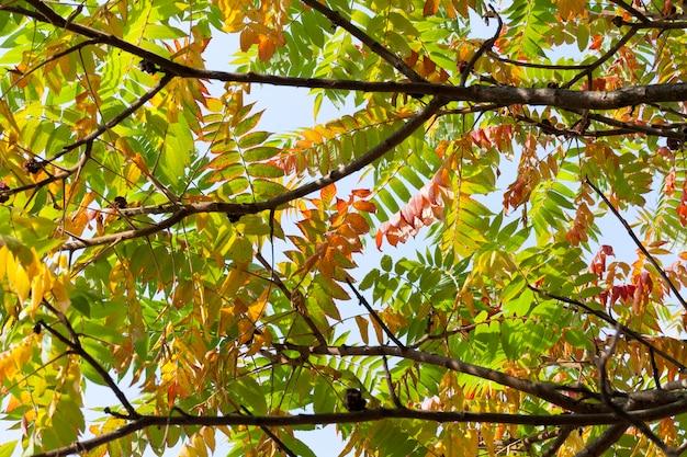 Fogliame rosso, giallo e verde sulla corona dell'albero, primo piano di autunno sulla natura, tempo soleggiato