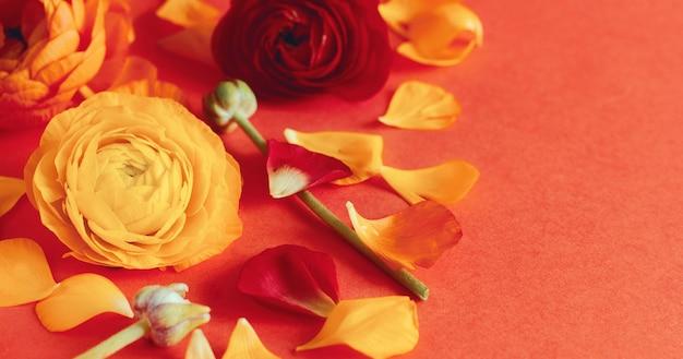 Ranuncolo rosso e giallo fiori e petali su uno sfondo rosso corallo si chiuda