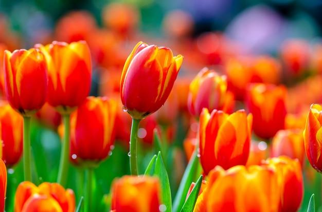 I campi di tulipani gialli rossi sono densamente fioriti