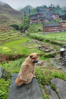 Il cucciolo ibrido irsuto della testarossa si leva in piedi sulla pietra sullo sfondo del villaggio etnico cinese situato nella zona montuosa della cina sud-occidentale.