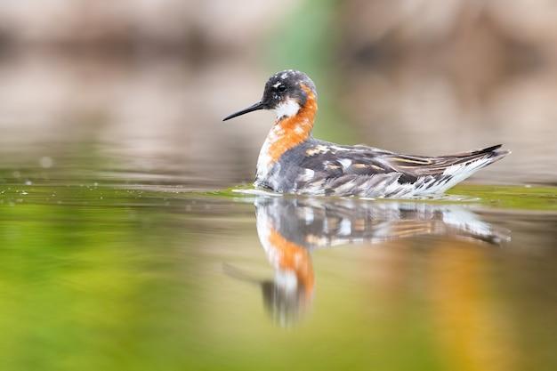Falaropo dal collo rosso che nuota nelle zone umide in primavera