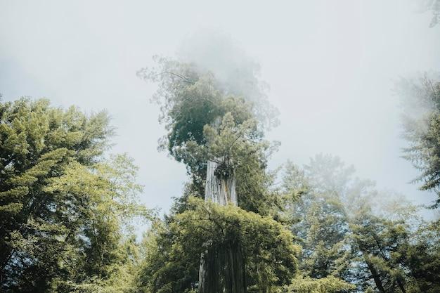 Foresta di sequoie in una nebbia, california usa