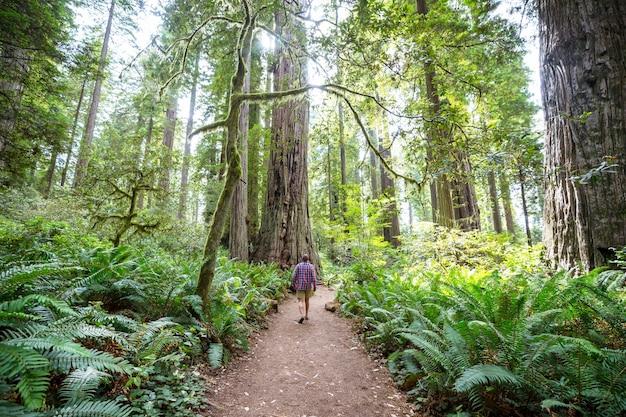 Alberi di sequoia nella foresta della california settentrionale, usa