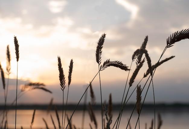 Canna sullo sfondo del cielo al tramonto