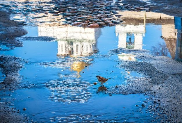 La riflessione in una pozzanghera della cattedrale della trinità del cremlino di pskov e il passero in una giornata di sole primaverile