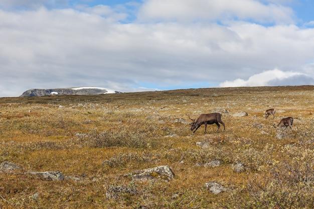 Greggi della renna nel parco nazionale di sarek, svezia, fuoco selettivo