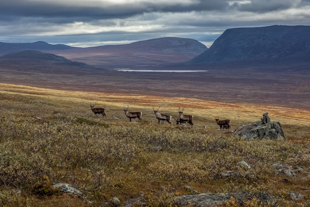 Branchi di renne nel parco nazionale di sarek, svezia