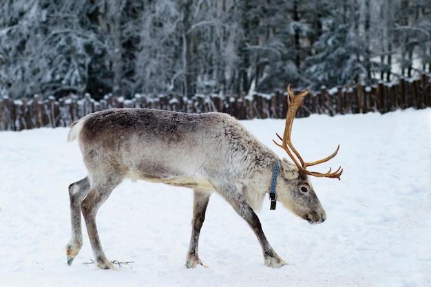 Renna che cammina in una fattoria nella foresta in inverno.