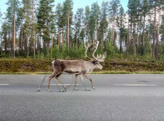 La renna cammina lungo la strada lungo la foresta