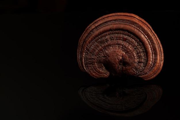 Fungo reishi, lingzhi o ganoderma lucidum isolato su sfondo nero