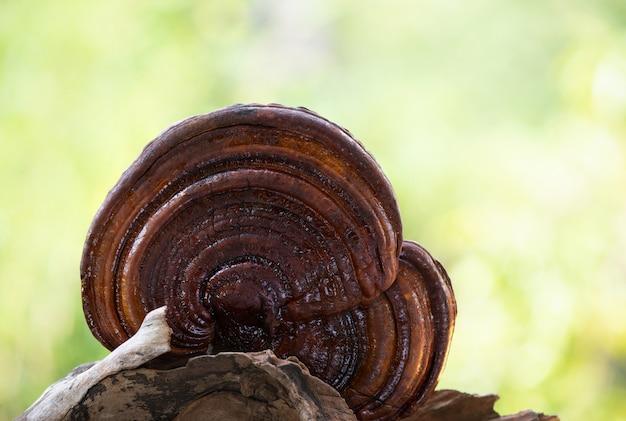 Fungo reishi, lingzhi o ganoderma lucidum su sfondo naturale