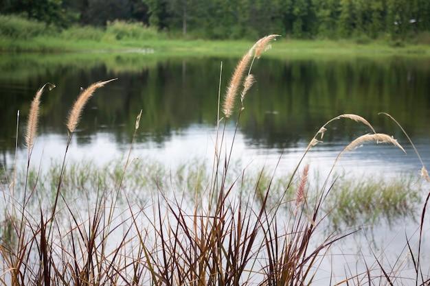 Vista rilassante di canne erba fiore, stock photo