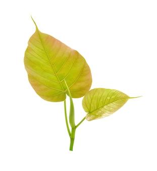 Religiosa pipal tree, bohhi leaf, bo tree, peepul, ficus