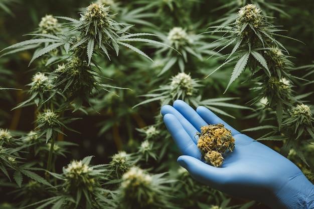 I ricercatori usano la mano per tenere o esaminare le piante di cannabis nella serra per la ricerca medica. marijuana sativa concetto di ricerca. olio di cbd, medicinale a base di erbe