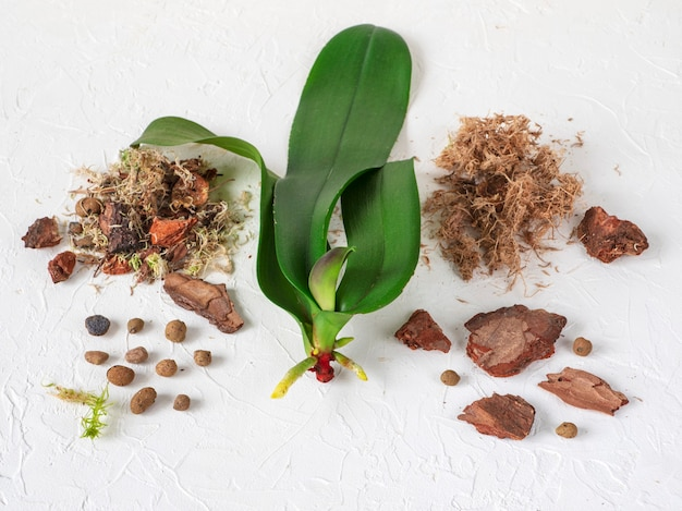 Rianimazione delle orchidee. radici in crescita nelle orchidee.