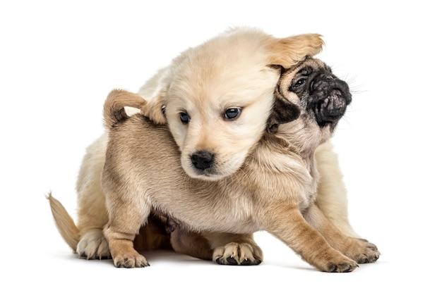 Cuccioli del pug e del documentalista che giocano insieme, isolati su bianco