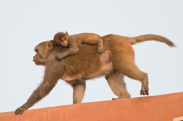 Macaco rhesus e il suo cucciolo