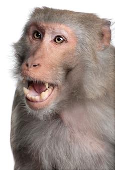 Macaco rhesus - macaca mulatta su un bianco isolato