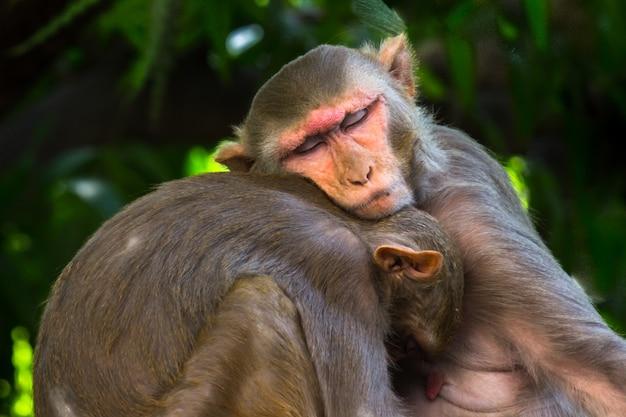 La scimmia macaco rhesus è familiare primati marroni o scimmie o macaca o mullata che dormono con il fratello
