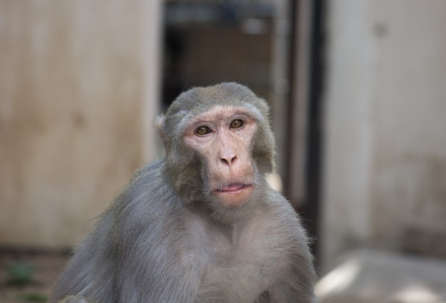 Scimmia di macaco di rhesus che guarda stranamente