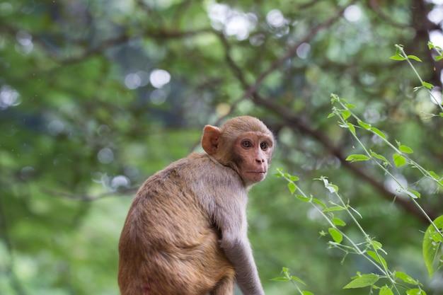 La scimmia macaco rhesus seduto sotto l'albero