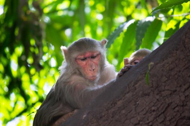 Rhesus macaque monkey sull'albero