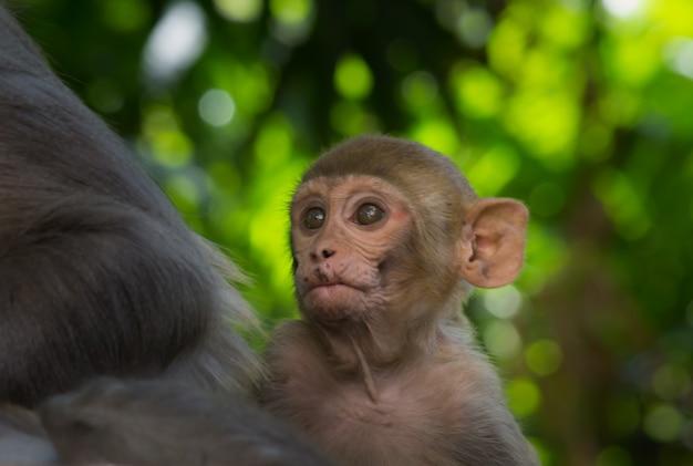 I macachi rhesus sono familiari primati marroni con facce rosse e muso con facce espressive