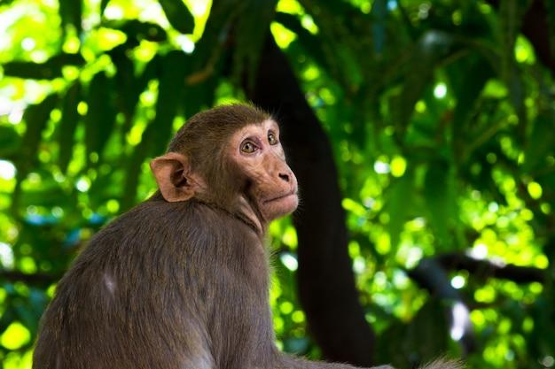 Le scimmie macachi rhesus sono familiari primati marroni o scimmie o macaca o mullata con facce rosse