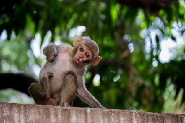 Le scimmie macachi rhesus sono familiari primati marroni o scimmie o macaca o mullata