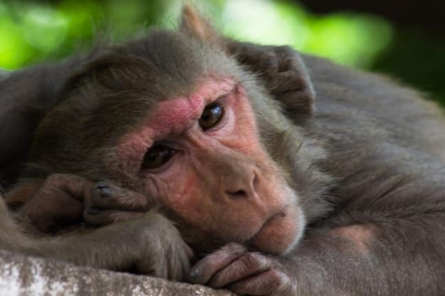 I macachi rhesus sono familiari primati marroni o scimmie con facce e posteriori rossi