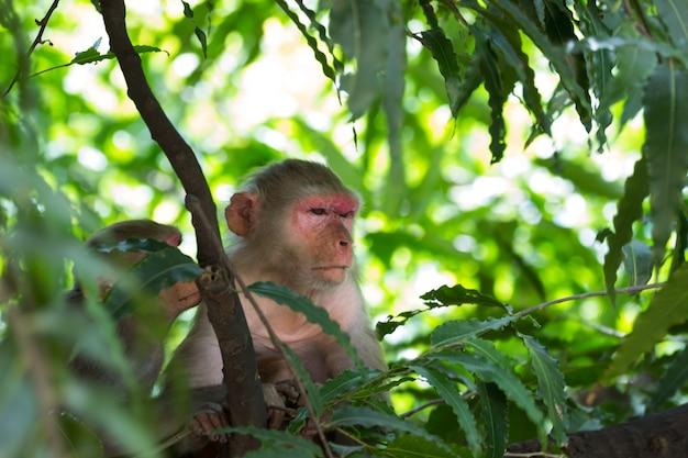 La scimmia rhesus che fa un pisolino o dorme all'ombra degli alberi durante il pomeriggio estivo in un pubblico