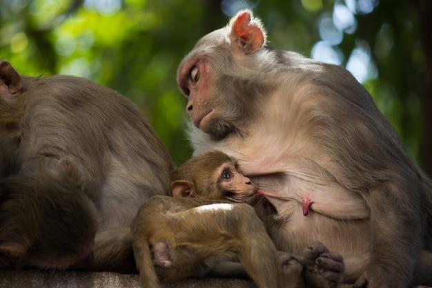 Scimmia della madre del reso che alimenta il suo bambino