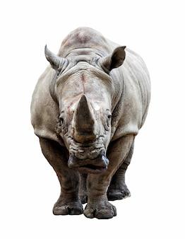 Rhino su sfondo bianco