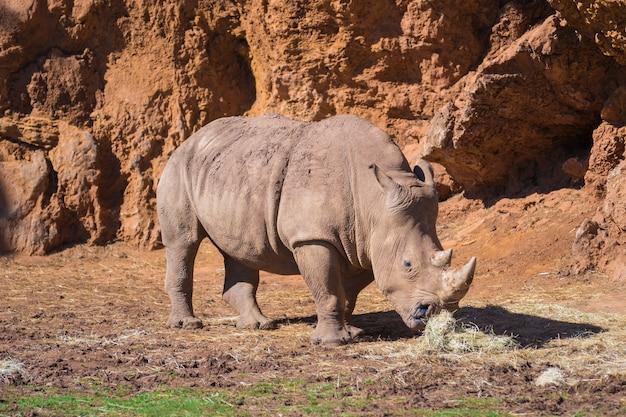 Rinoceronte nel zoologico