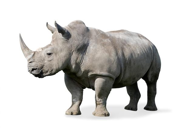 Rinoceronte isolato su bianco