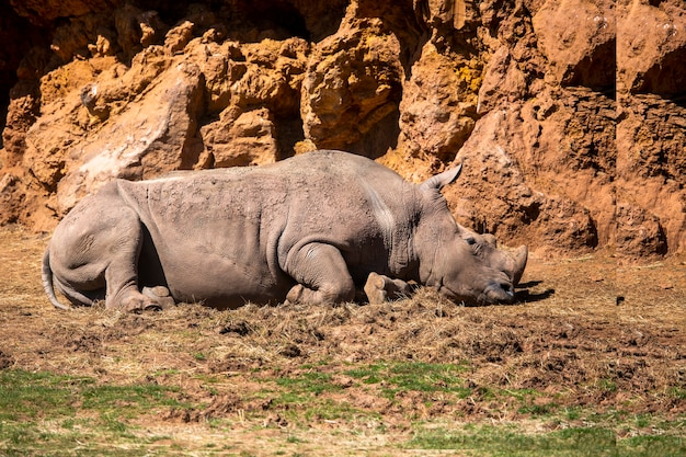 Rinoceronte sdraiato in una giornata calda