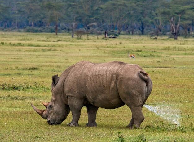 Rinoceronte nella savana.