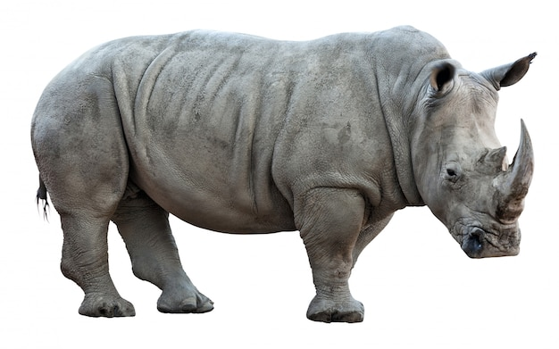 Rinoceronte su sfondo bianco Foto Premium
