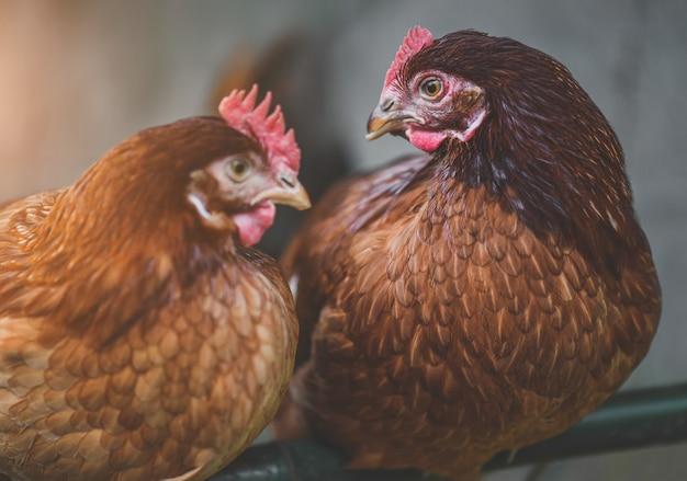 Ritratto di pollo rosso rhode island con scarsa illuminazione interna
