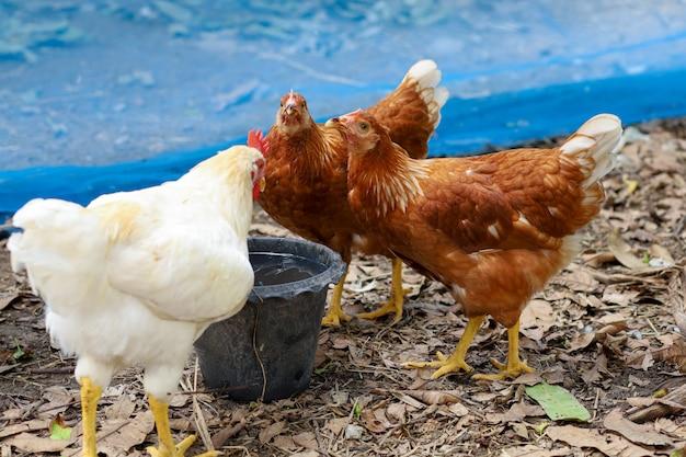 La gallina rossa del rhode island è bere acqua in giardino