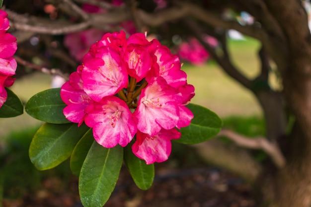 Rododendro fiori che sbocciano in giardino bellissimo rododendro rosa da vicino