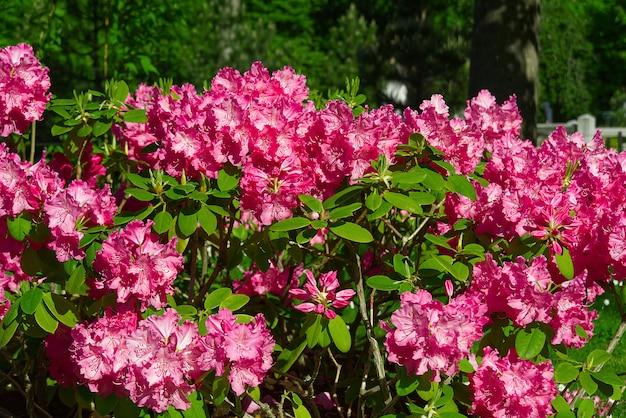 Giardino di fioritura dei fiori del rododendro in primavera. rododendro pacifico o arbusto sempreverde del rosebay della california. bella fine rosa del rododendro su