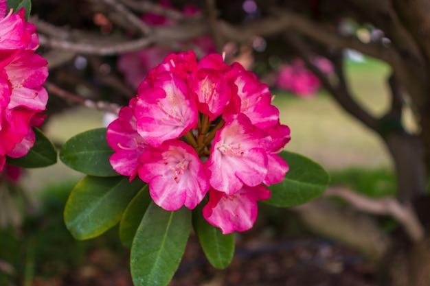 Fiori che sbocciano rododendri nel giardino primaverile. rododendro pacifico o arbusto sempreverde di california rosebay. bellissimo rododendro rosa da vicino
