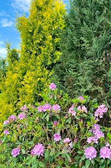 Cespuglio di rododendro che fiorisce con fiori rosa. foto dello studio.