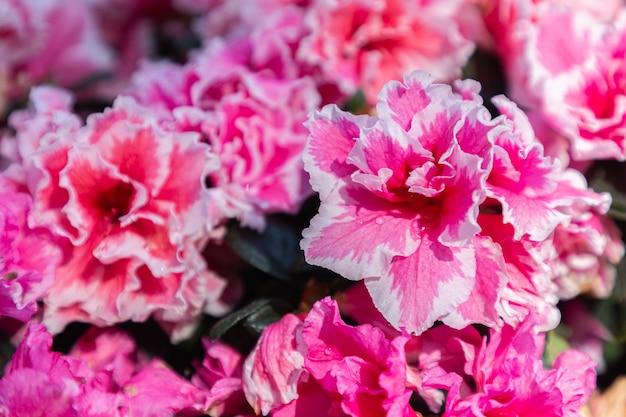 Fiori rosa di rododendro nel giardino da vicino